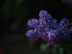 宵の紫丁香花
