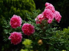 薔薇園の牡丹
