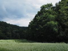 谷戸の蕎麦畑