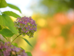 紫陽花・紅葉・秋陽