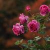 厚別秋の薔薇祭