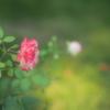 一週間お疲れ様の薔薇