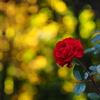 木洩れ日・薔薇
