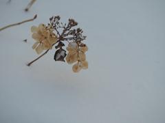 乾燥紫陽花