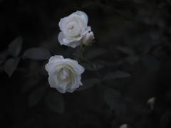 宵の白薔薇