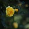 週末に薔薇