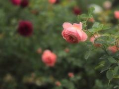雨夜に薔薇を
