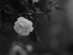 夜に白薔薇