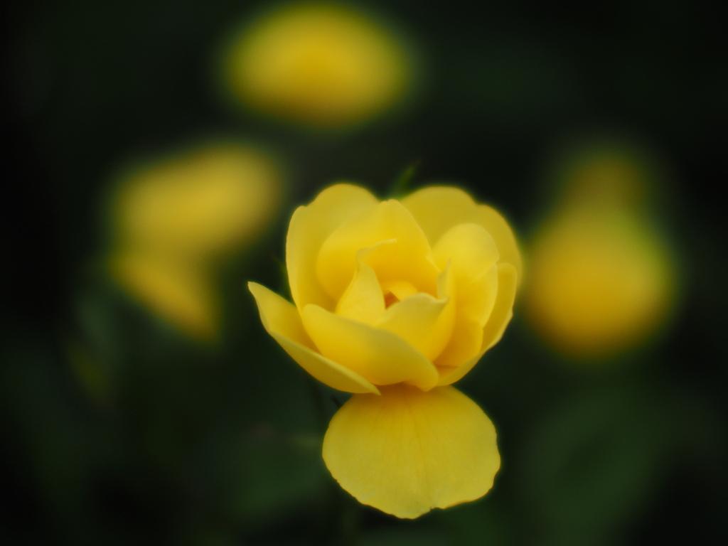 端境期の薔薇