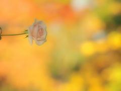 薔薇・温もり