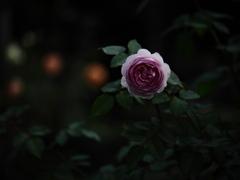 夜の青薔薇