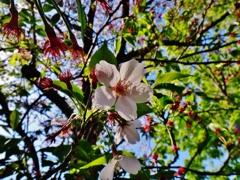 第二千四百七十三作 「咲きのこる さくらひと花を 愛づる」 静岡県静岡