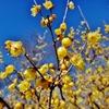 第二千三百八十五作 「幾歳と 甘くただよふ 蝋梅の花」 東京都府中