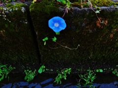 第千九百一作  「凛として まだ咲かせてゐる 朝顔の健気」 福井県大野