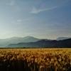 第二千百四十七作 「朝風さらさら 刈入れ前の麦畑」 愛媛県西条
