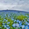 第二千四百九十九作 「曇れる朝の 青い花いちめん」 茨城県那珂湊