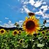 第二千五百七十八作 「ふるさとは 変はらぬ空へ 向日葵満天」 千葉県三芳