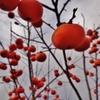第千九百七十九作  「日増しに寒うなる 柿の実赤うなる」 茨城県下館