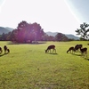 第二千二百六十七作 「朝露の 鹿の仔めいめい 草を食み」 奈良県奈良