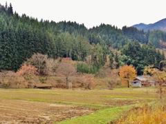 第二千三百十作 「刈り終へると 急にさびしい」 山形県鶴岡