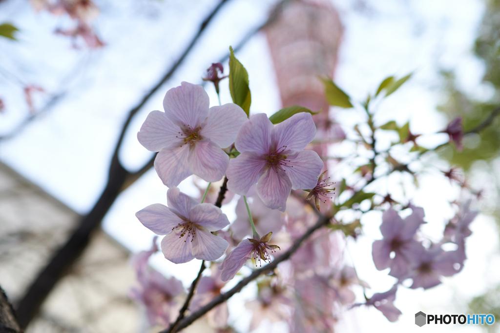 神戸咲く1