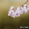 能勢の枝垂れ桜2