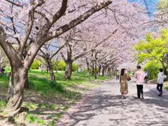 木漏れ日の桜道