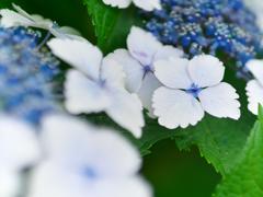 紫陽花咲く頃 Ⅱ