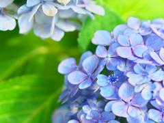 七月の紫陽花