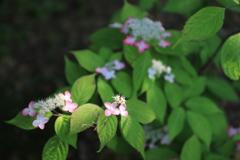 紫陽花いろいろの四