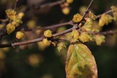 蝋梅が咲いた!