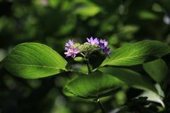 紫陽花いろいろの二
