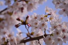 桜を見上げて