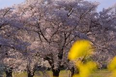 夕照に輝く桜