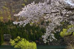 山あいの桜と新緑