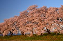 夕陽を浴びる桜並木