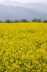 黄色の絨毯広げて