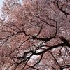 目覚めの桜