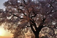 桜を染める朝日