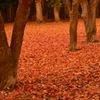 香雪園2017 落葉の絨毯