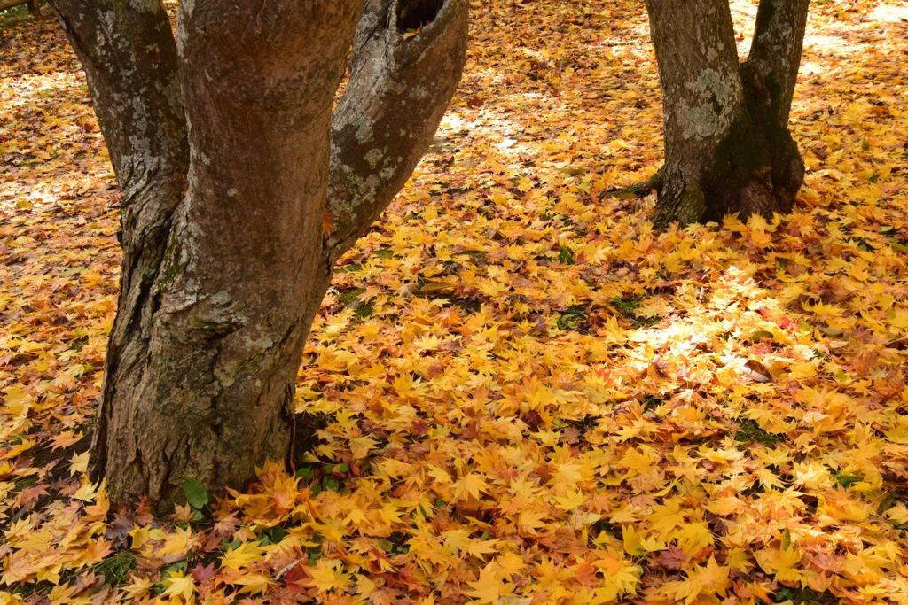 黄葉の落葉