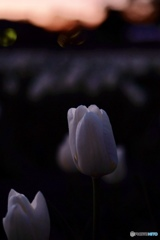 夕暮れ 花
