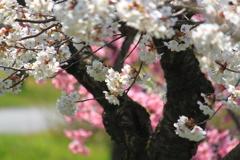これぞ日本の桜