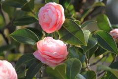 春うらら・・朝陽が眩しい椿姉妹