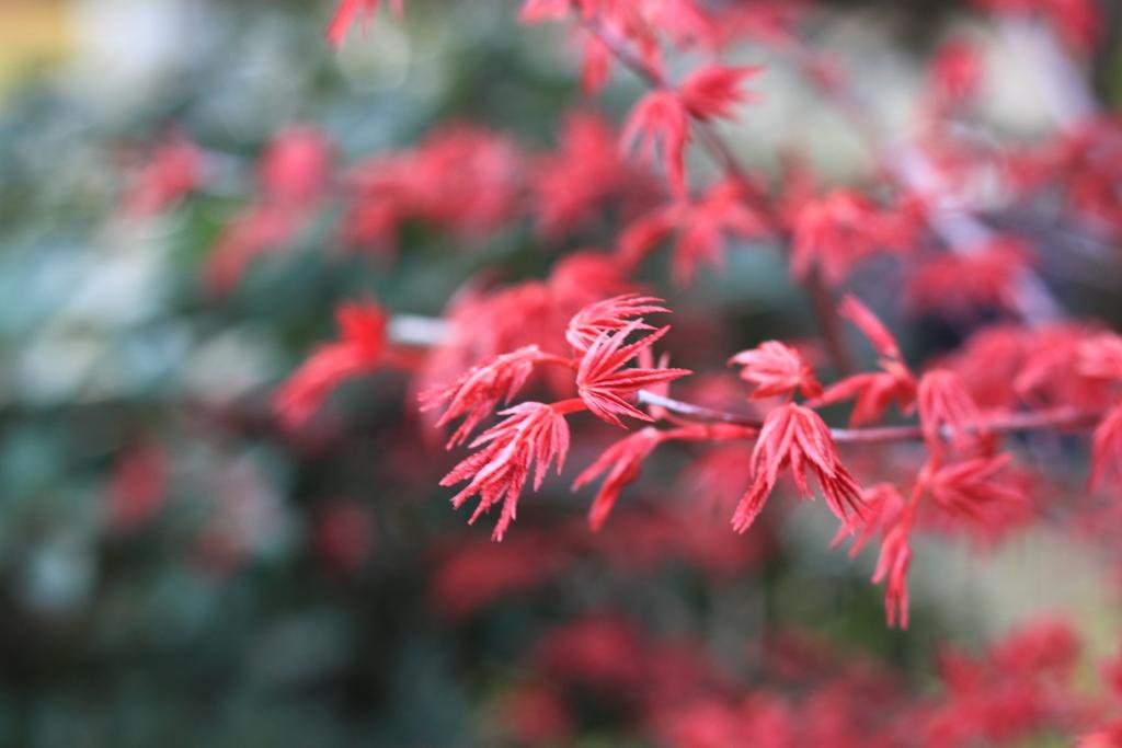 真っ赤・・春のチシオモミジ