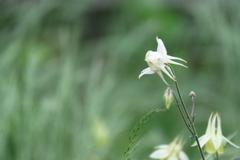 静かに佇む苧環の花