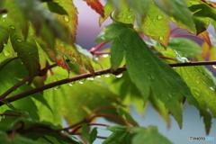 梅雨時も素敵!ハウチワカエデ