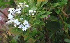 11月紫陽花