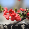 赤さが目立つボケの花