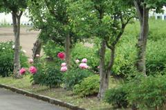 芍薬咲く散策道